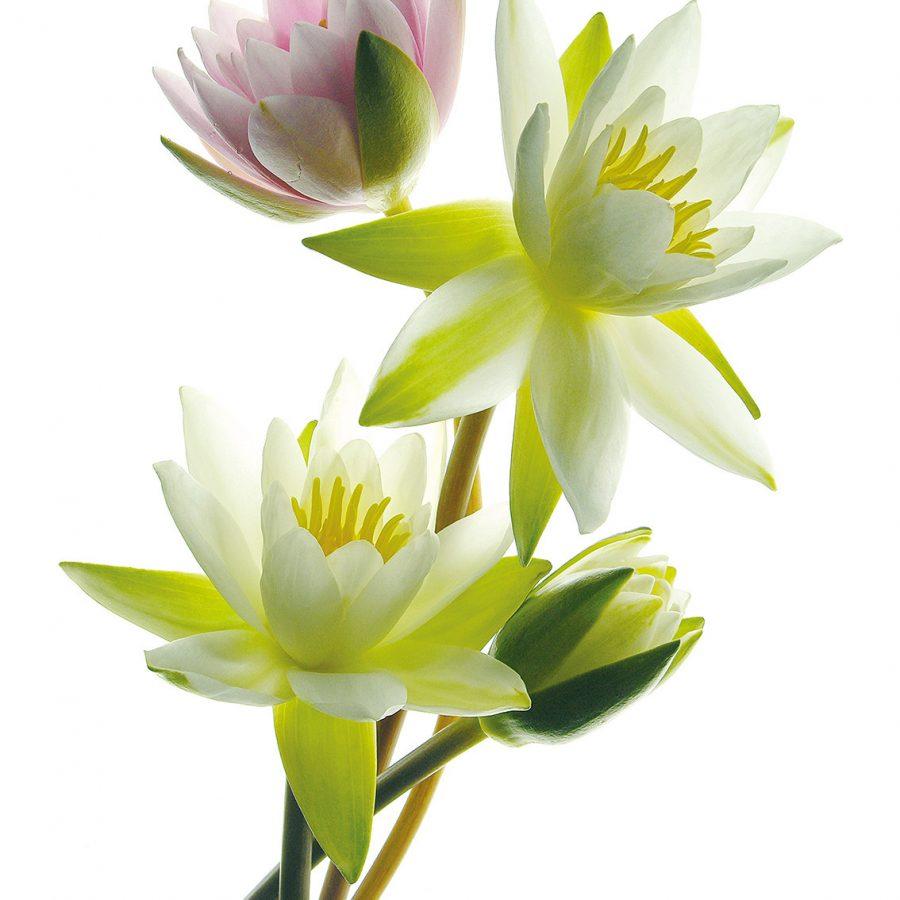 Photo de nympheas blanches et rose
